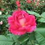 玫瑰 1061202_2 士林官邸眾星雲菊.JPG