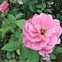玫瑰 1061202_3 士林官邸眾星雲菊.JPG