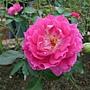 玫瑰 1061202_5 士林官邸眾星雲菊.JPG