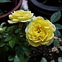 玫瑰(Julia Child) 1070301_2.JPG