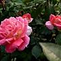 玫瑰 1070314_1 金山板南公園.JPG