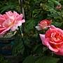 玫瑰 1070314_2 金山板南公園.JPG