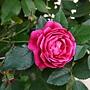 玫瑰 1070314_3 金山板南公園.JPG