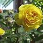 玫瑰(Julia Child) 1070301_1.JPG
