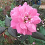 玫瑰-一代佳人 1061202_1 士林官邸眾星雲菊.JPG