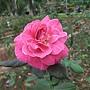 玫瑰-一代佳人 1061202_2 士林官邸眾星雲菊.JPG