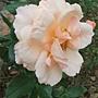 玫瑰-人間天堂 1061202 士林官邸眾星雲菊.JPG