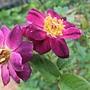 玫瑰-午夜深藍 1061202 士林官邸眾星雲菊.JPG