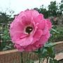 玫瑰-巴龍洛察 1061202 士林官邸眾星雲菊.JPG
