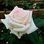 玫瑰-月光石 1061202 士林官邸眾星雲菊.JPG