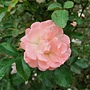 玫瑰-水蜜桃漂移 1061202_1 士林官邸眾星雲菊.JPG