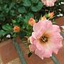 玫瑰-水蜜桃漂移 1061202_2 士林官邸眾星雲菊.JPG