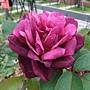 玫瑰-王子 1061202 士林官邸眾星雲菊.JPG