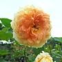 玫瑰-古典焦糖 1061202_1 士林官邸眾星雲菊.JPG