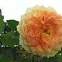 玫瑰-古典焦糖 1061202_2 士林官邸眾星雲菊.JPG