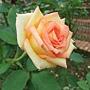 玫瑰-光輝 1061202 士林官邸眾星雲菊.JPG