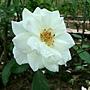 玫瑰-冰山 1061202 士林官邸眾星雲菊.JPG