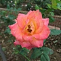 玫瑰-艾玲卡 1061202_1 士林官邸眾星雲菊.JPG