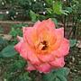 玫瑰-艾玲卡 1061202_2 士林官邸眾星雲菊.JPG