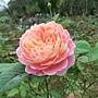 玫瑰-克勞德莫內 1061202 士林官邸眾星雲菊.JPG