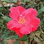 玫瑰-吸引 1061202 士林官邸眾星雲菊.JPG
