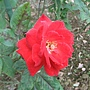 玫瑰-沙其蒙 1061202士林官邸眾星雲菊.JPG