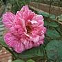 玫瑰-奇蹟 1061202 士林官邸眾星雲菊.JPG
