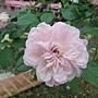 玫瑰-帕里斯 1061202 士林官邸眾星雲菊.JPG