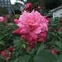 玫瑰-肯特夫人 1061202_2 士林官邸眾星雲菊.JPG
