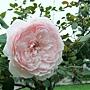 玫瑰-美莎琪 1061202 士林官邸眾星雲菊.JPG