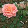 玫瑰-香織裝飾 1061202_1 士林官邸眾星雲菊.JPG