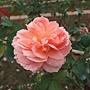 玫瑰-香織裝飾 1061202_2 士林官邸眾星雲菊.JPG