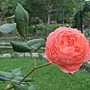 玫瑰-夏日花火 1061202 士林官邸眾星雲菊.JPG