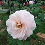 玫瑰-夏莉法阿斯馬 1061202 士林官邸眾星雲菊.JPG