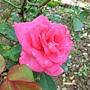 玫瑰-烏拉拉 1061202_1 士林官邸眾星雲菊.JPG