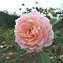 玫瑰-粉紅吸引 1061202_1 士林官邸眾星雲菊.JPG