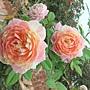 玫瑰-粉紅吸引 1061202_2 士林官邸眾星雲菊.JPG