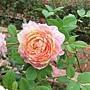 玫瑰-粉紅吸引 1061202_3 士林官邸眾星雲菊.JPG