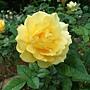 玫瑰(Julia Child) 1061202 士林官邸眾星雲菊.JPG