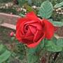 玫瑰-茶花女 1061202_1 士林官邸眾星雲菊.JPG