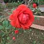 玫瑰-茶花女 1061202_2 士林官邸眾星雲菊.JPG