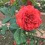 玫瑰-茶花女 1061202_3 士林官邸眾星雲菊.JPG
