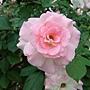 玫瑰-馬蒂蓮達 1061202 士林官邸眾星雲菊.JPG