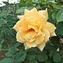 玫瑰-甜蜜香水 1061202_1 士林官邸眾星雲菊.JPG