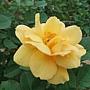 玫瑰-甜蜜香水 1061202_2 士林官邸眾星雲菊.JPG