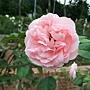 玫瑰-莫伯桑 1061202 士林官邸眾星雲菊.JPG