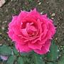 玫瑰-雪拉紗德 1061202 士林官邸眾星雲菊.JPG