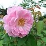 玫瑰-麥金塔 1061202 士林官邸眾星雲菊.JPG