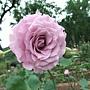 玫瑰-紫星 1061202_1 士林官邸眾星雲菊.JPG