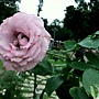 玫瑰-紫星 1061202_2 士林官邸眾星雲菊.JPG